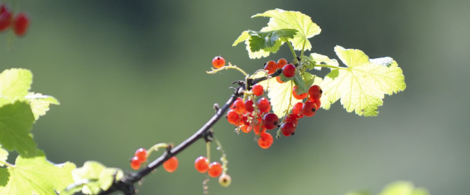 Fine-art-photography-fruit-vegetable-photography-redcurrants-2