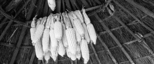 Dried maize hanging in roundel hut.