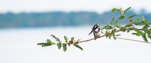 Pied Kingfisher, LakeVictoria, Uganda